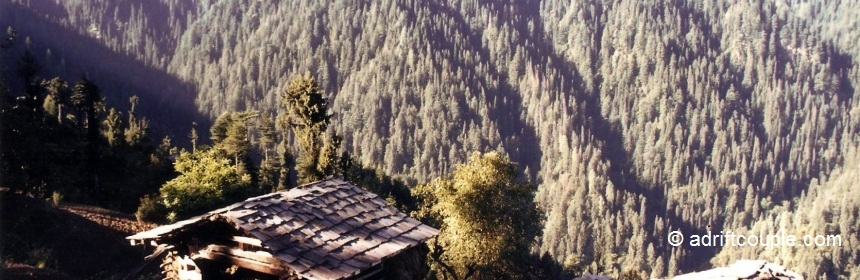 Densely populated conifers in Shoja, Himachal Pradesh.