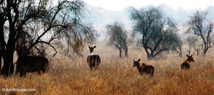 Blue Bulls – the Nilgai at DNP, Jaisalmer, Rajasthan
