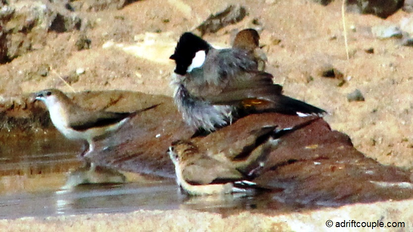 White eared bulbul and desert wheatears at the waterhole in DNP, Jaisalmer