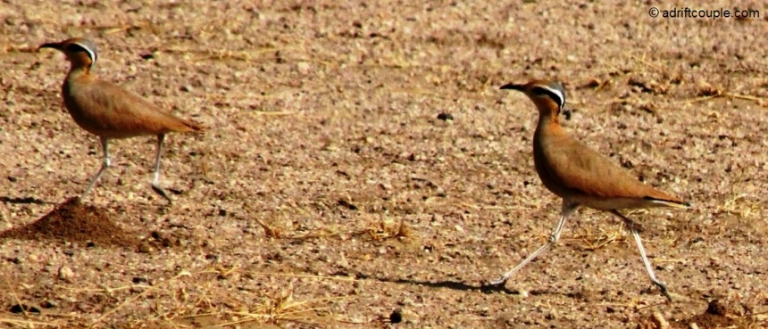 Coursers with long legs, short wings and long pointed bills which curve downwards