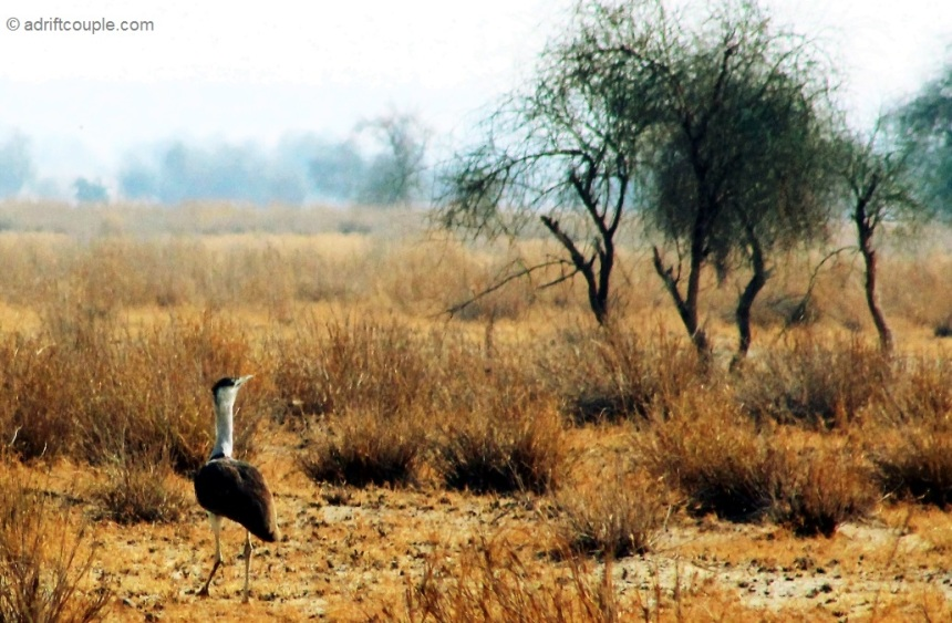 Godawan – The Great India Bustard (GIB) – the state bird of Rajasthan, endemic to India.