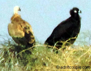 DNP Indian Vulture and Tawny Eagle