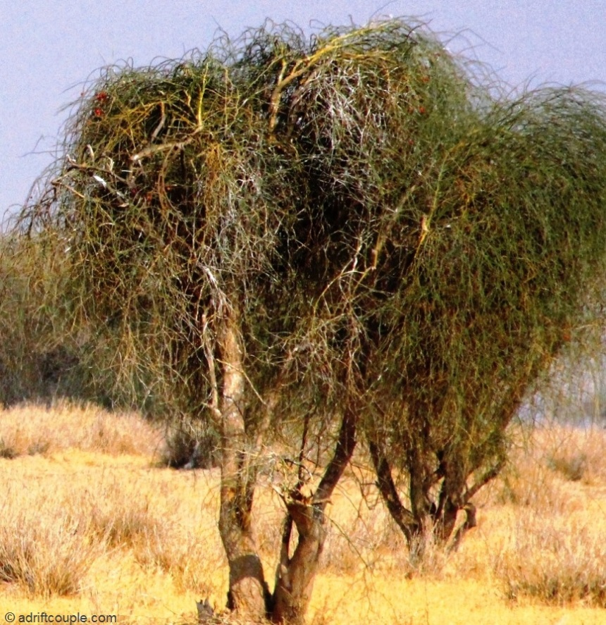 Ker – a tree with green thorny stems at DNP, Jaisalmer, Rajasthan