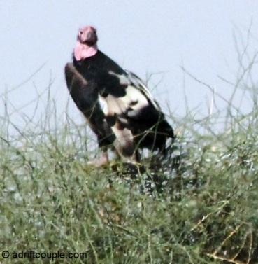 DNP King Vulture