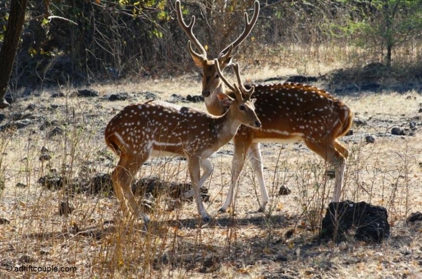 Gir Deer