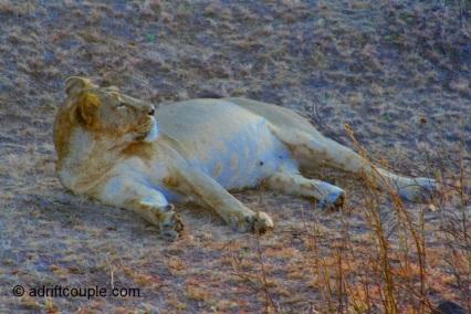 A lion cub in Gir National Park, Gujarat, India