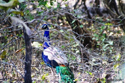 Peacock in wild habitat in Gir National Park, Gujarat, India