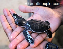 bentota fernando conservatory baby turtle