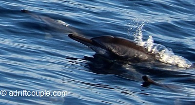 mirissa spinner dolphins