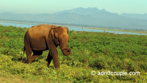 Udawalawe National Park, is the best place in Sri Lanka for spotting Elephants at close quarters.
