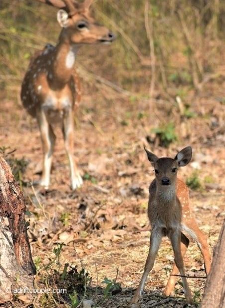Deer Calf Nagarhole