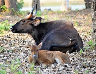 Gaur with Calf