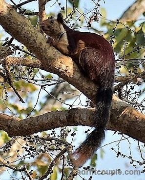 Malabar Squirrel Nagarhole Park
