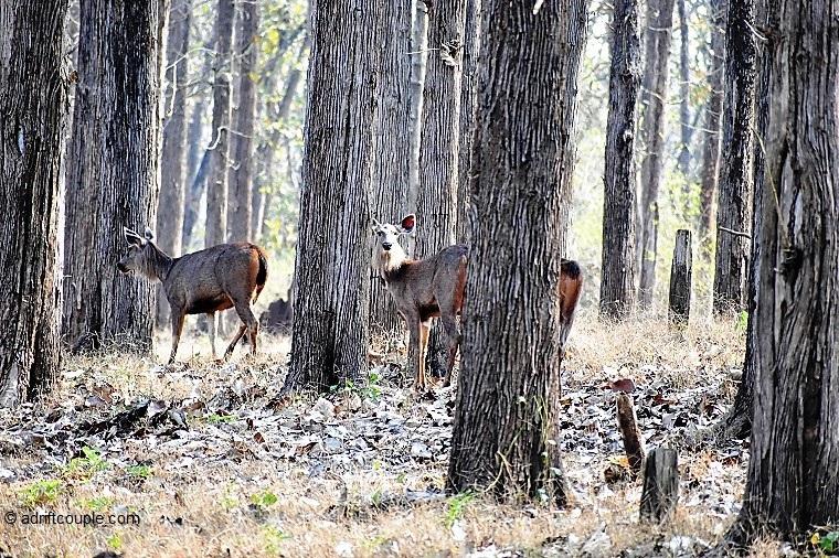Sambar Deer Pair Nagarhole