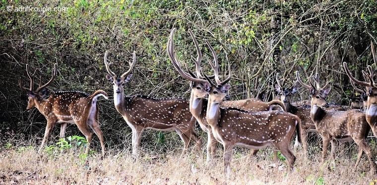 Stag Herd Nagarhole