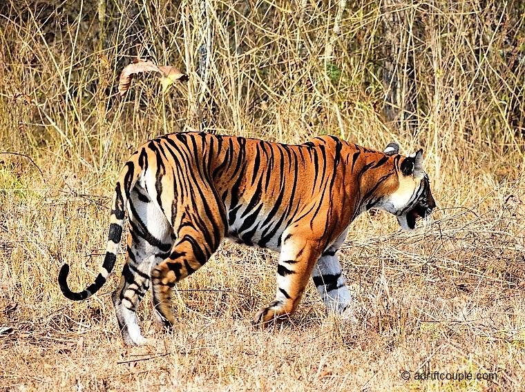 Tiger in Nagarhole National Park, Karnataka.