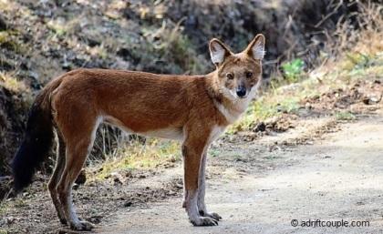 Wild Dog Nagarhole