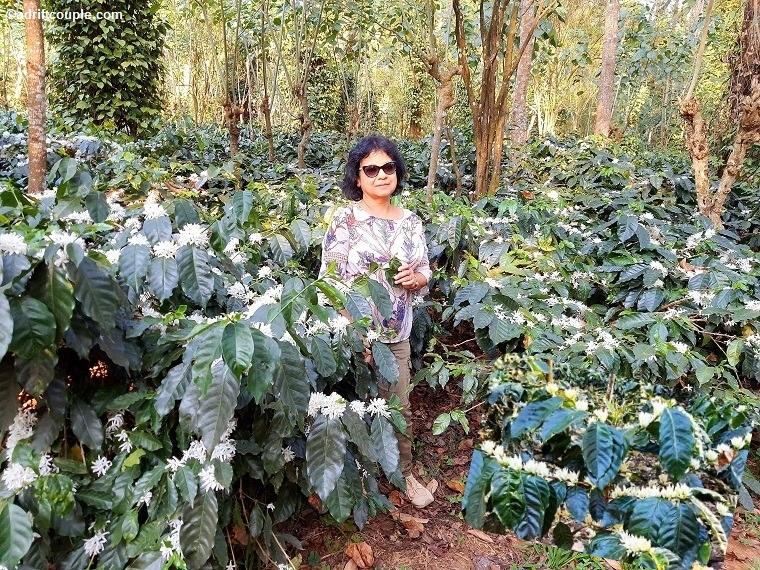 Arabica_Coffee_Plants